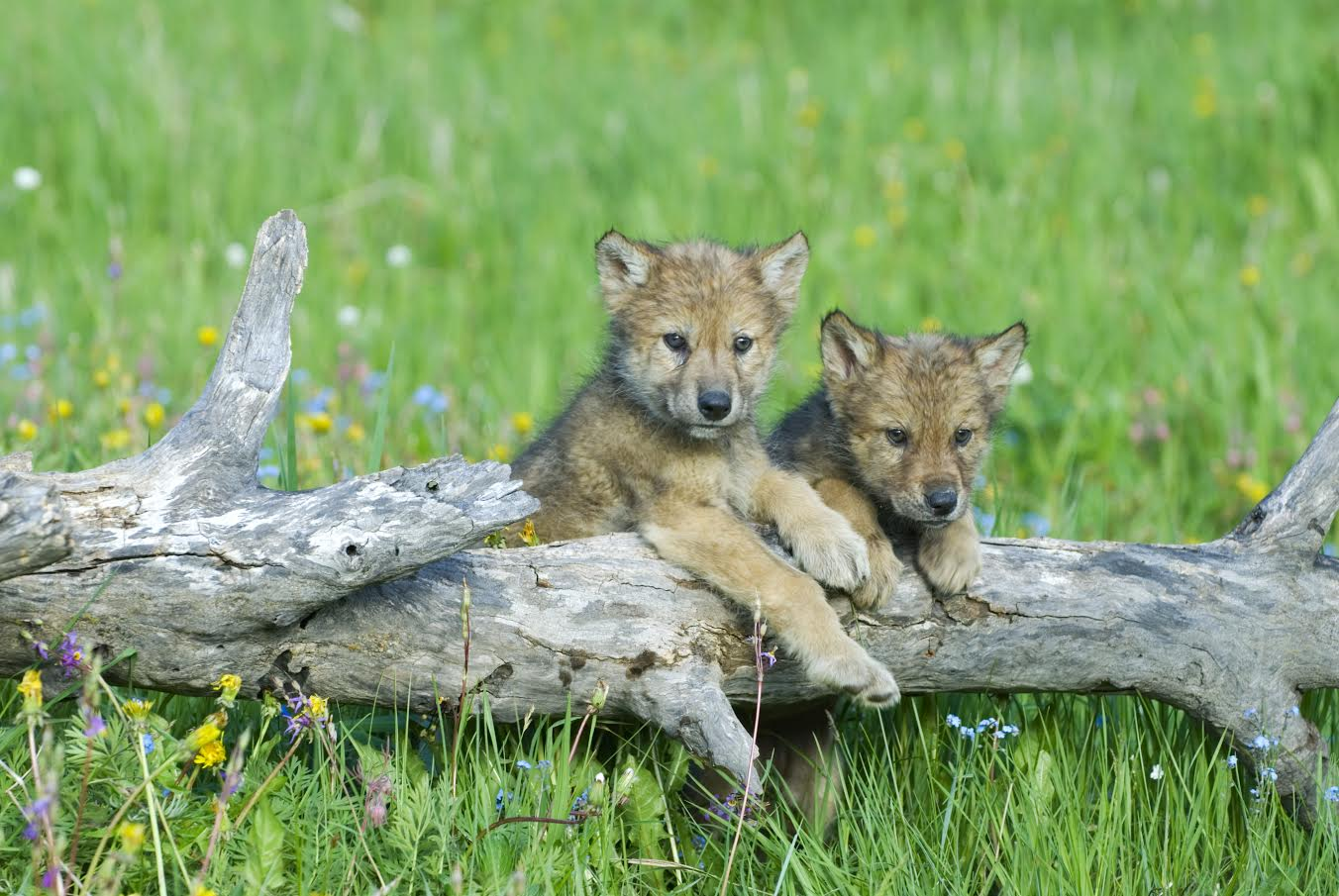 Picture of Wolf Cubs