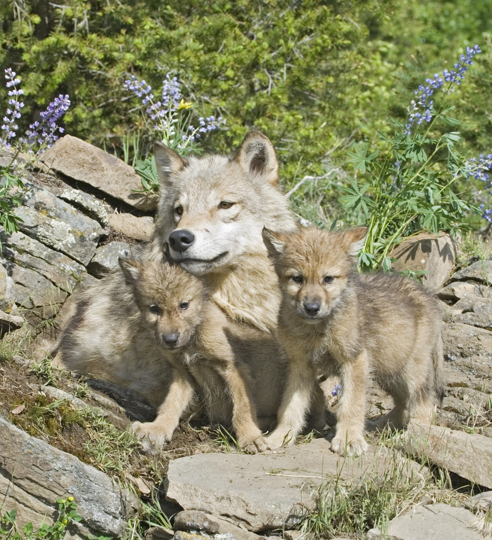 Tell your Rep: Protect the Endangered Species Act -- co-sponsor PAW and FIN now!