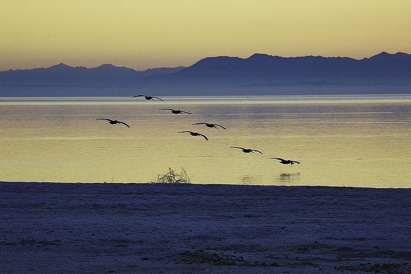 Brown Pelicans Feeding at Salton Sea, December 2014
